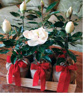 Southern Magnolia Tree Katzberry Home Decor